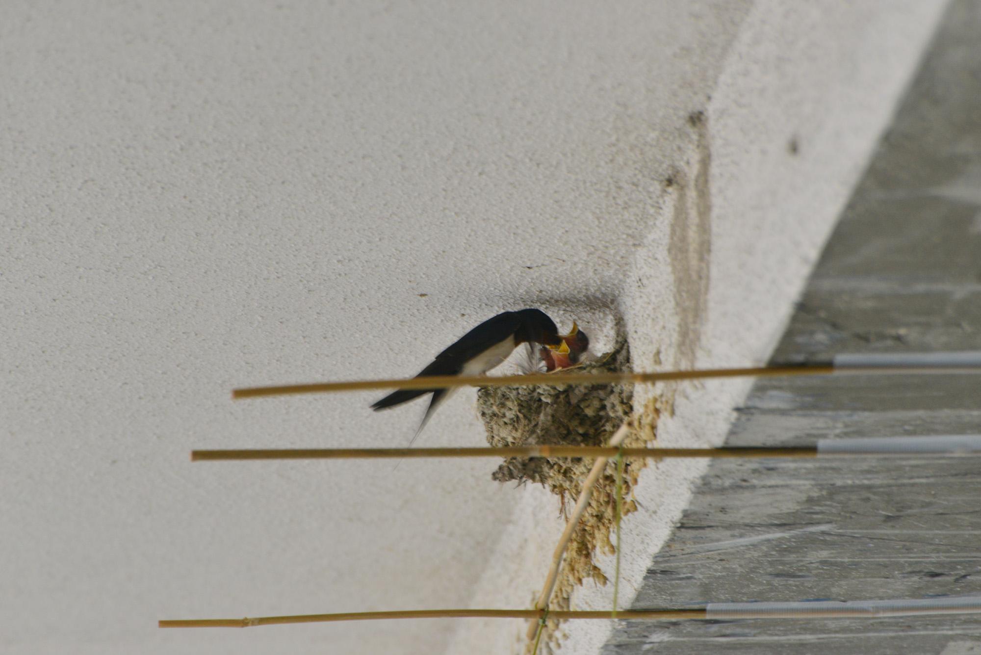巣 カラス の 作り方 ツバメ 対策