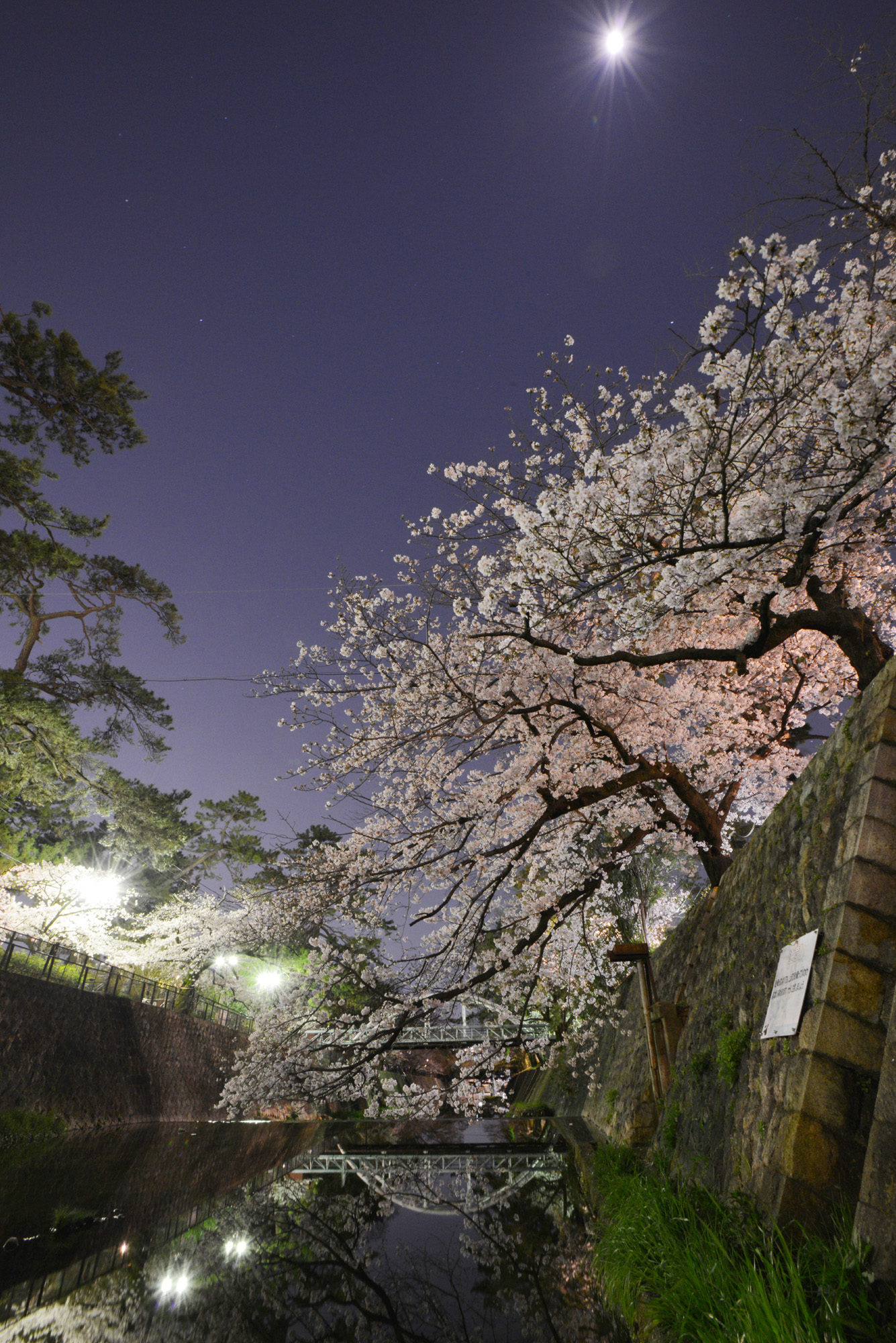 2020夙川夜桜写真