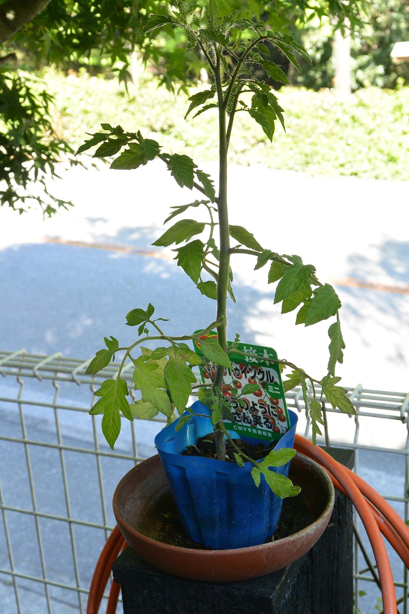 2020 ミニトマトの苗木植えました。