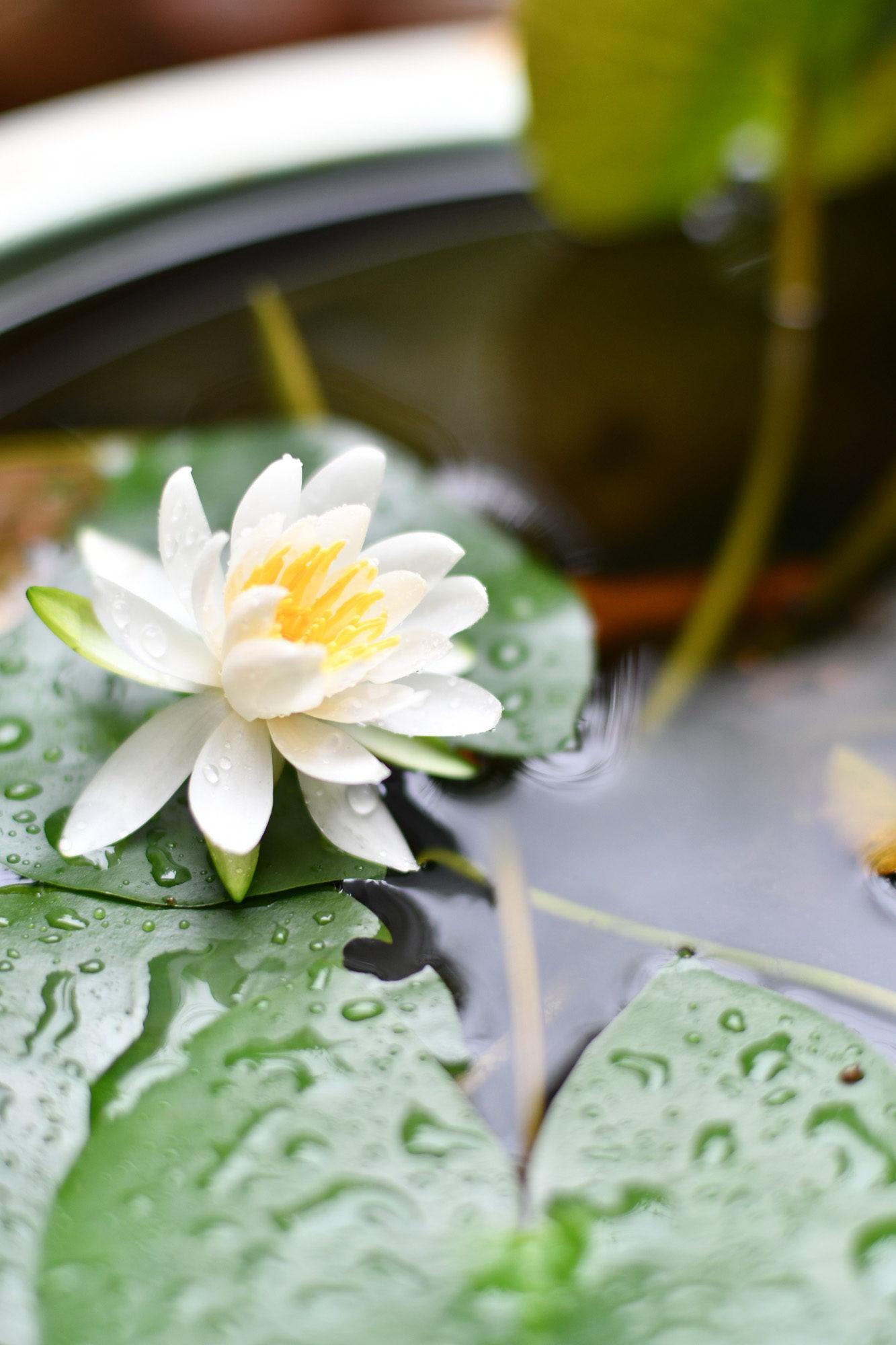 久々に庭の睡蓮が咲きました!(^o^)