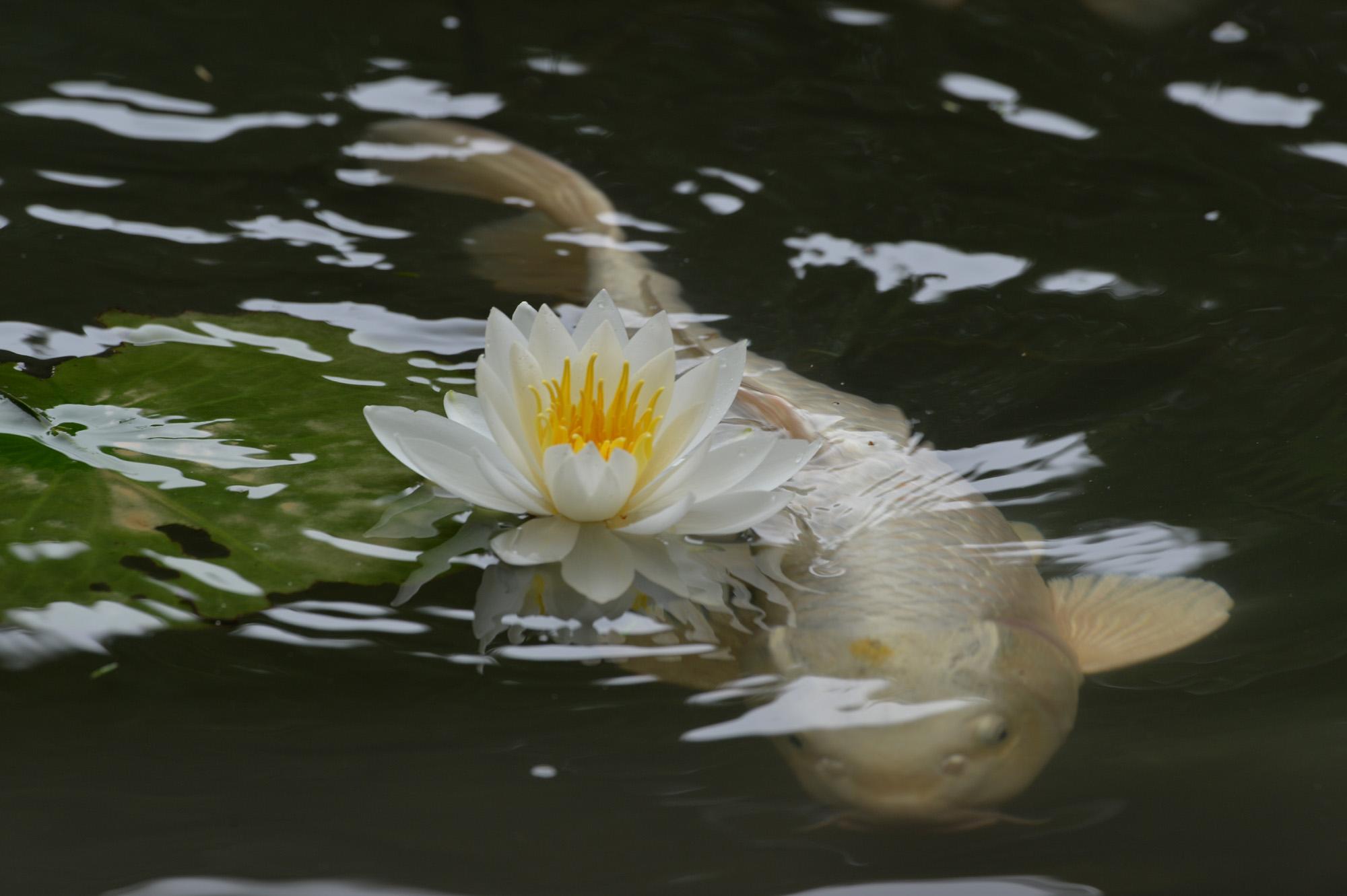 Nikon Dfで睡蓮を撮る。