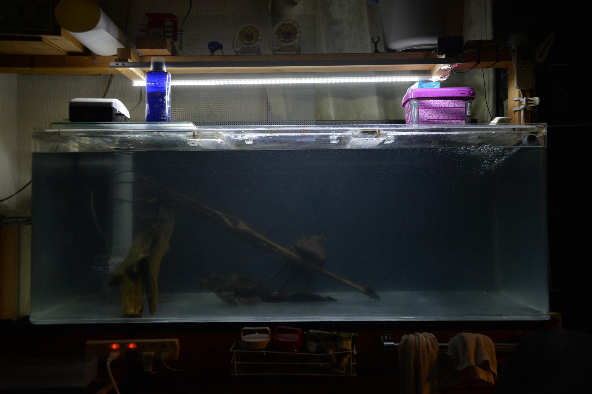 めっちゃ久々に水替えしました。 大型水槽のセルフィンプレコ