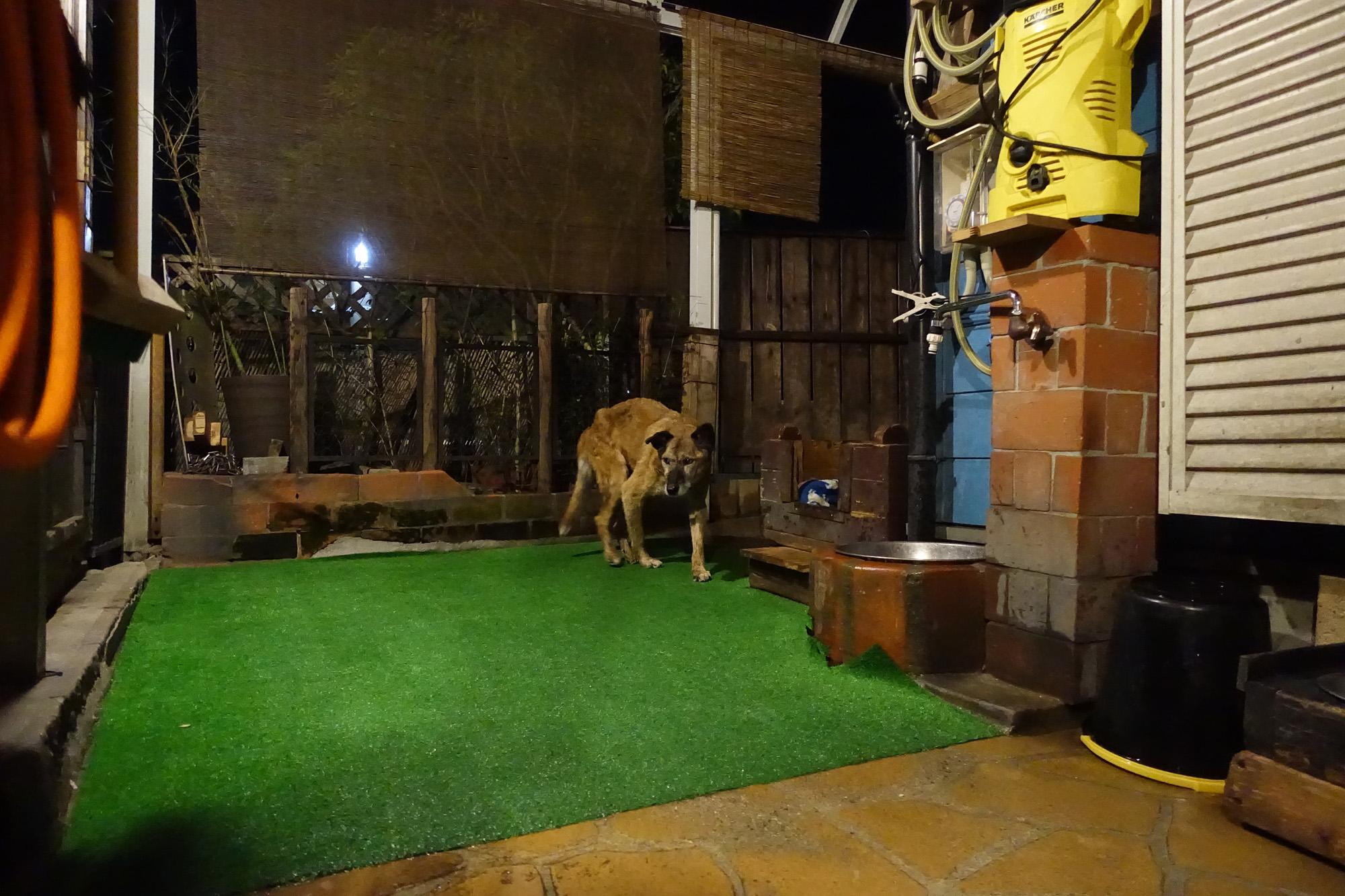愛犬 トラ 15才の老犬です。 俺のビーフジャーキー