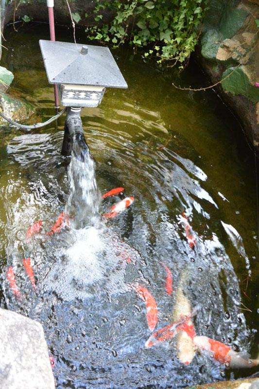 お隣さんの池、水換え マフィードでカルキ抜き