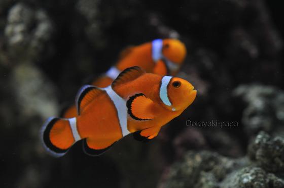 海水水槽のカクレクマノミ写真