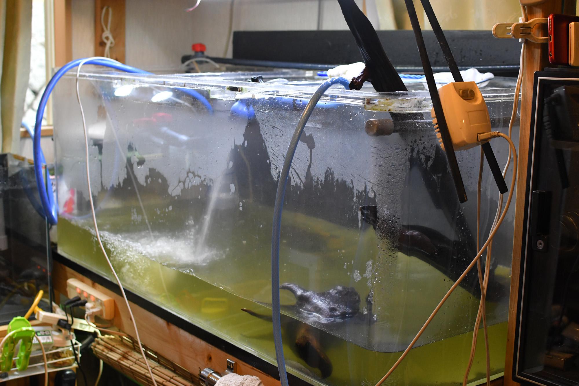 水槽掃除(コケ取り)しないセルフィンプレコ! 金魚水槽も水替えしてヒーター入れました。