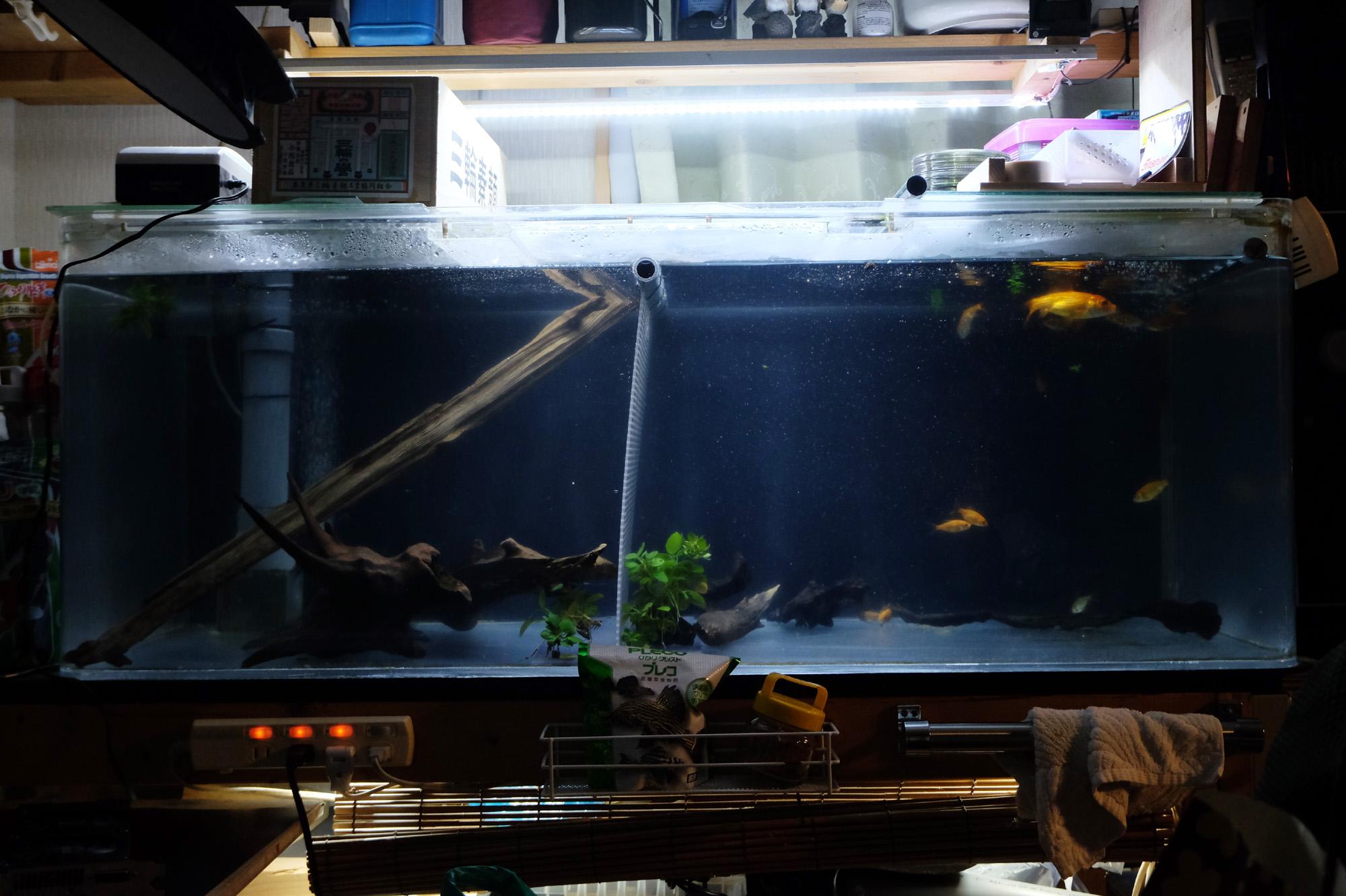 金魚とセルフィンプレコ 同じ水槽に!