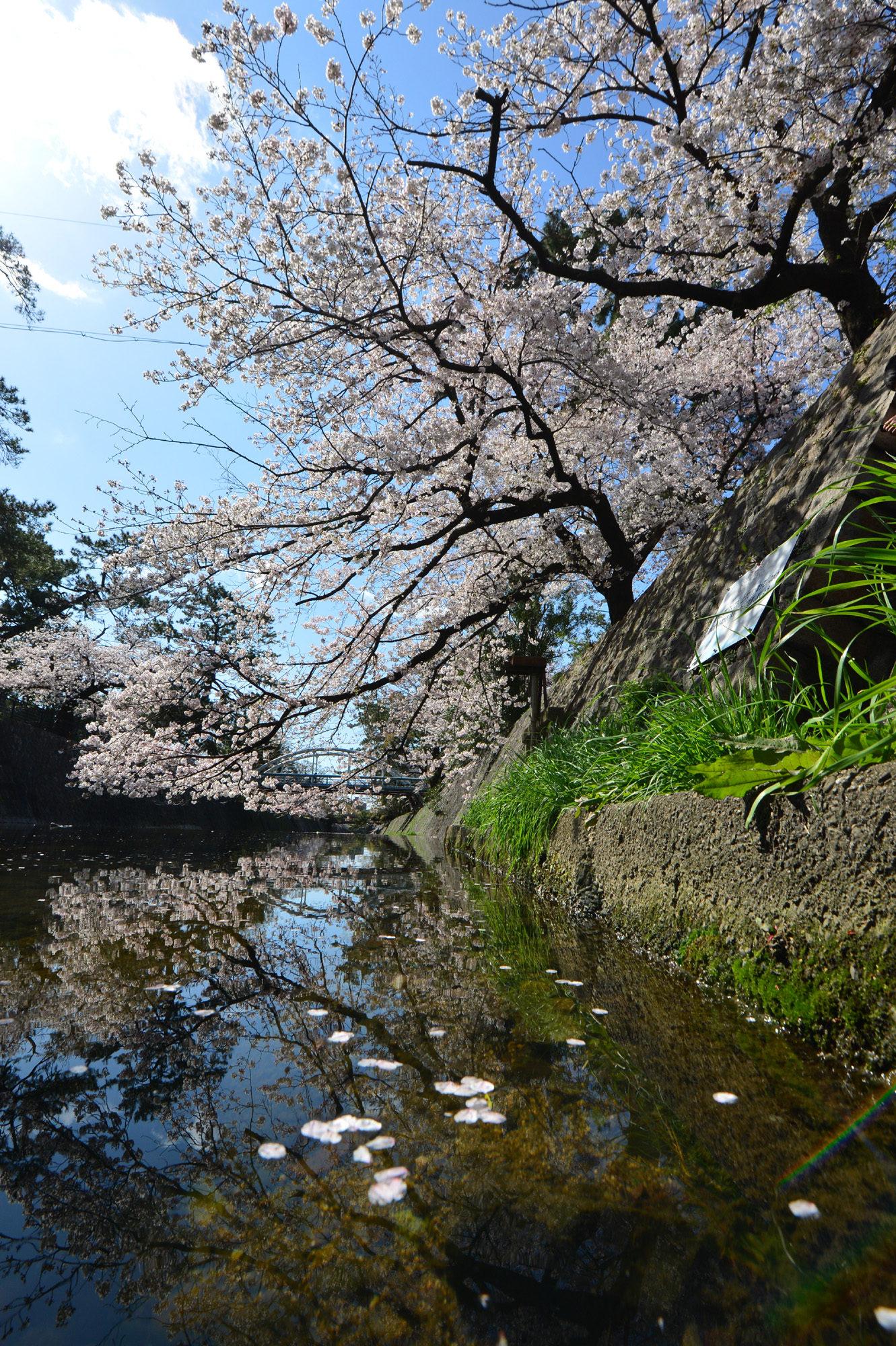 夙川の桜満開!
