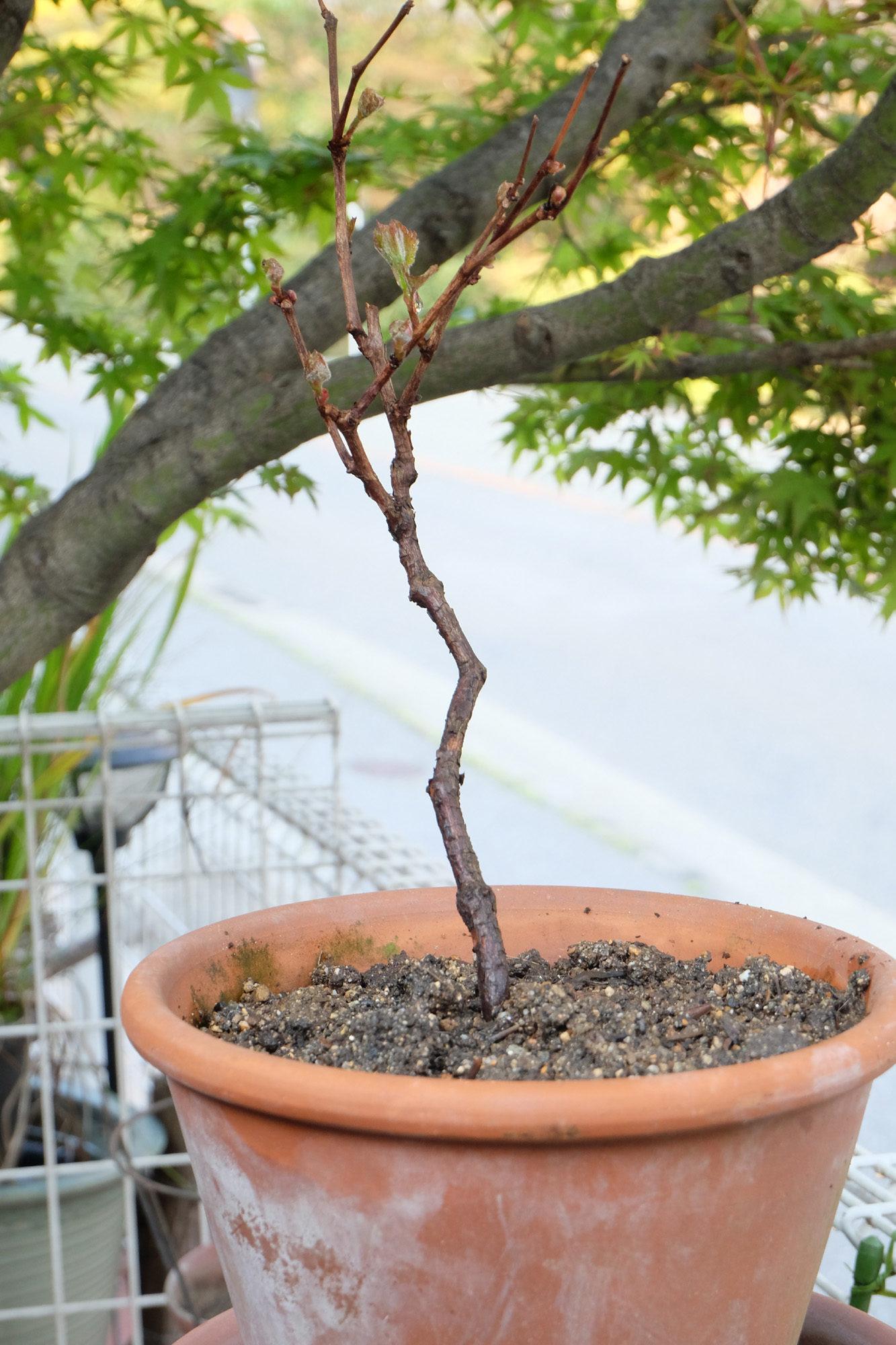 葡萄(ぶどう)の木、植え替えをしました。