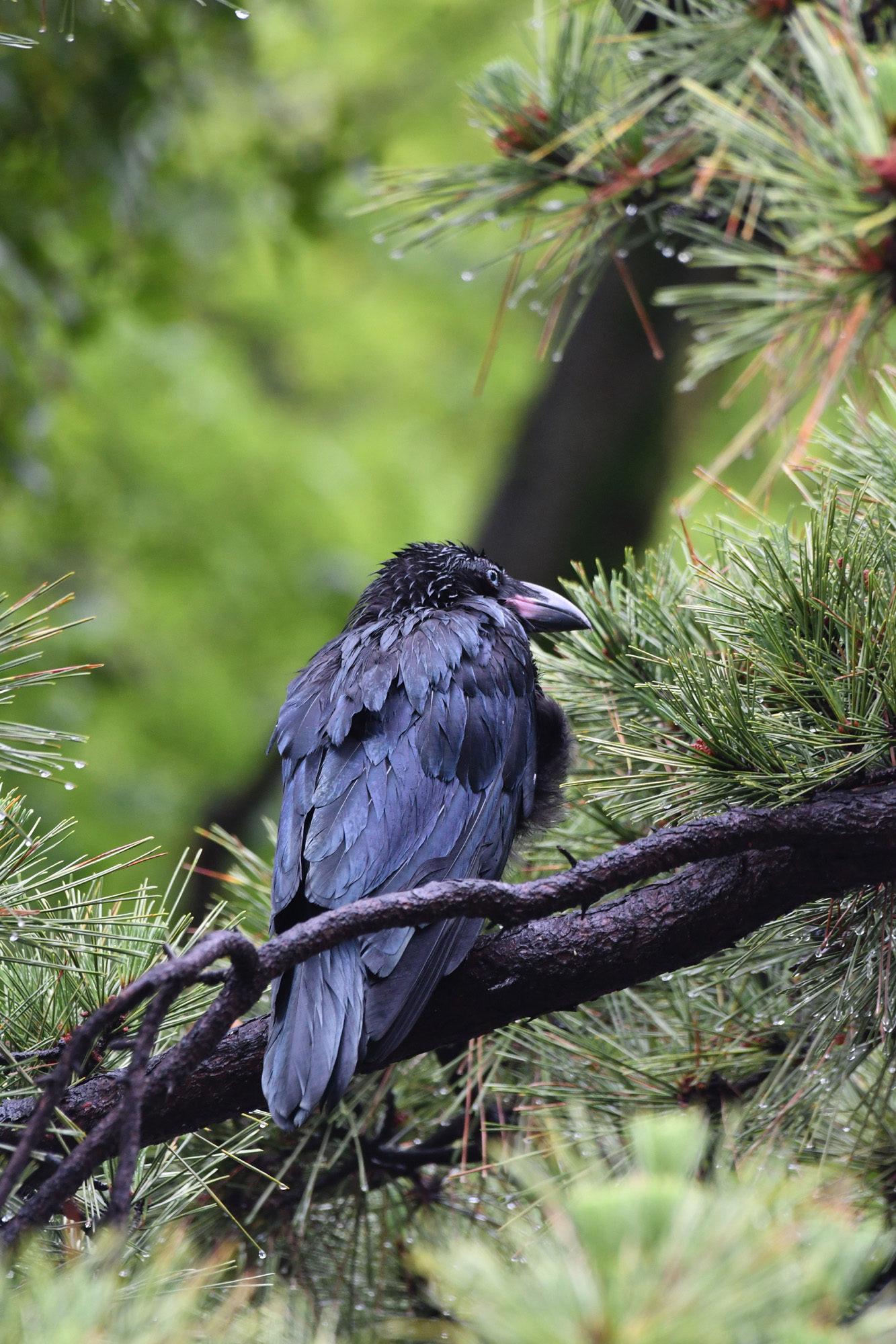 雨の日は、通常、鳥撮りしないのですが...