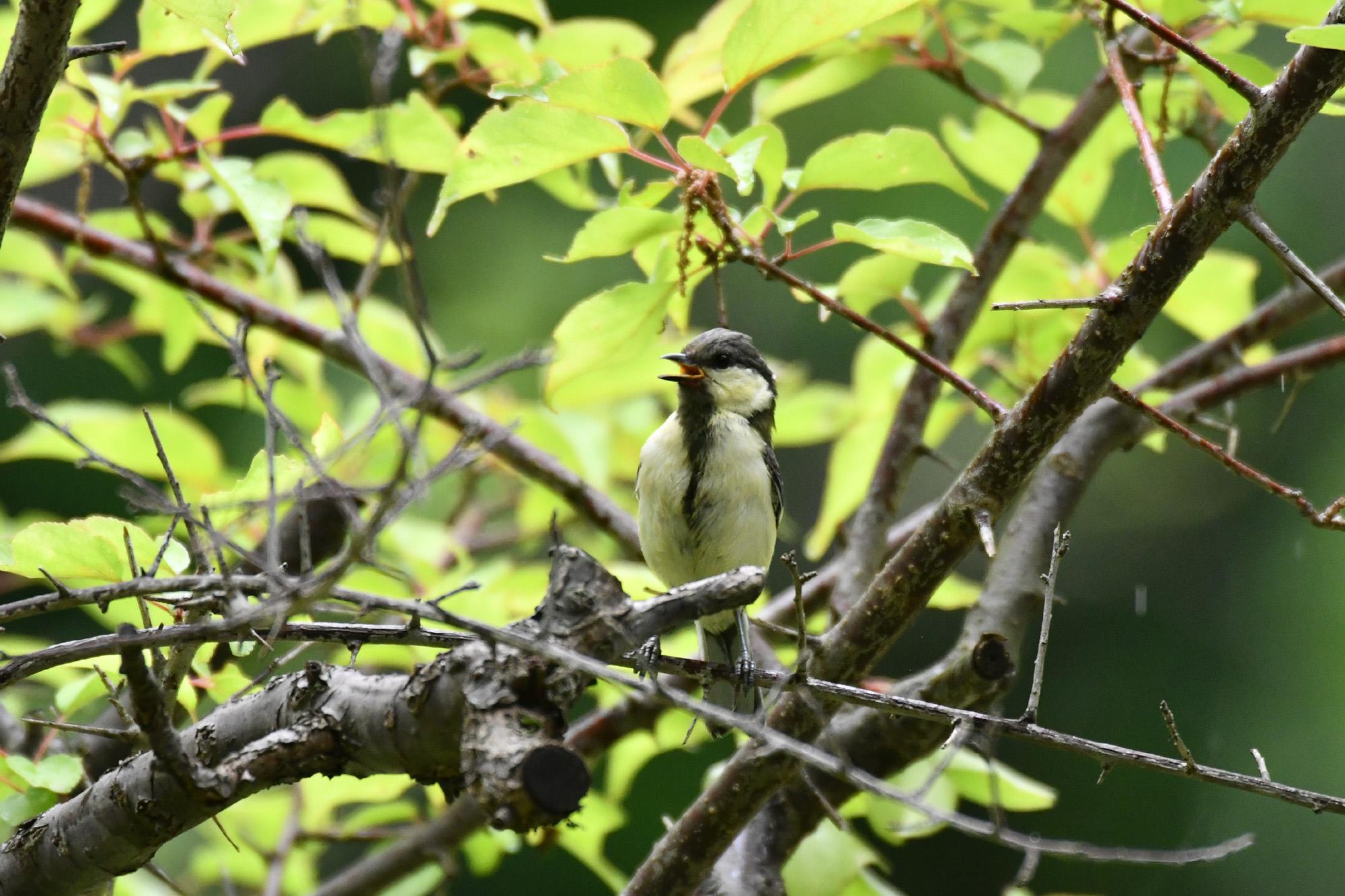 シジュウカラ 野鳥撮影にサバゲーのカモフラージュネット