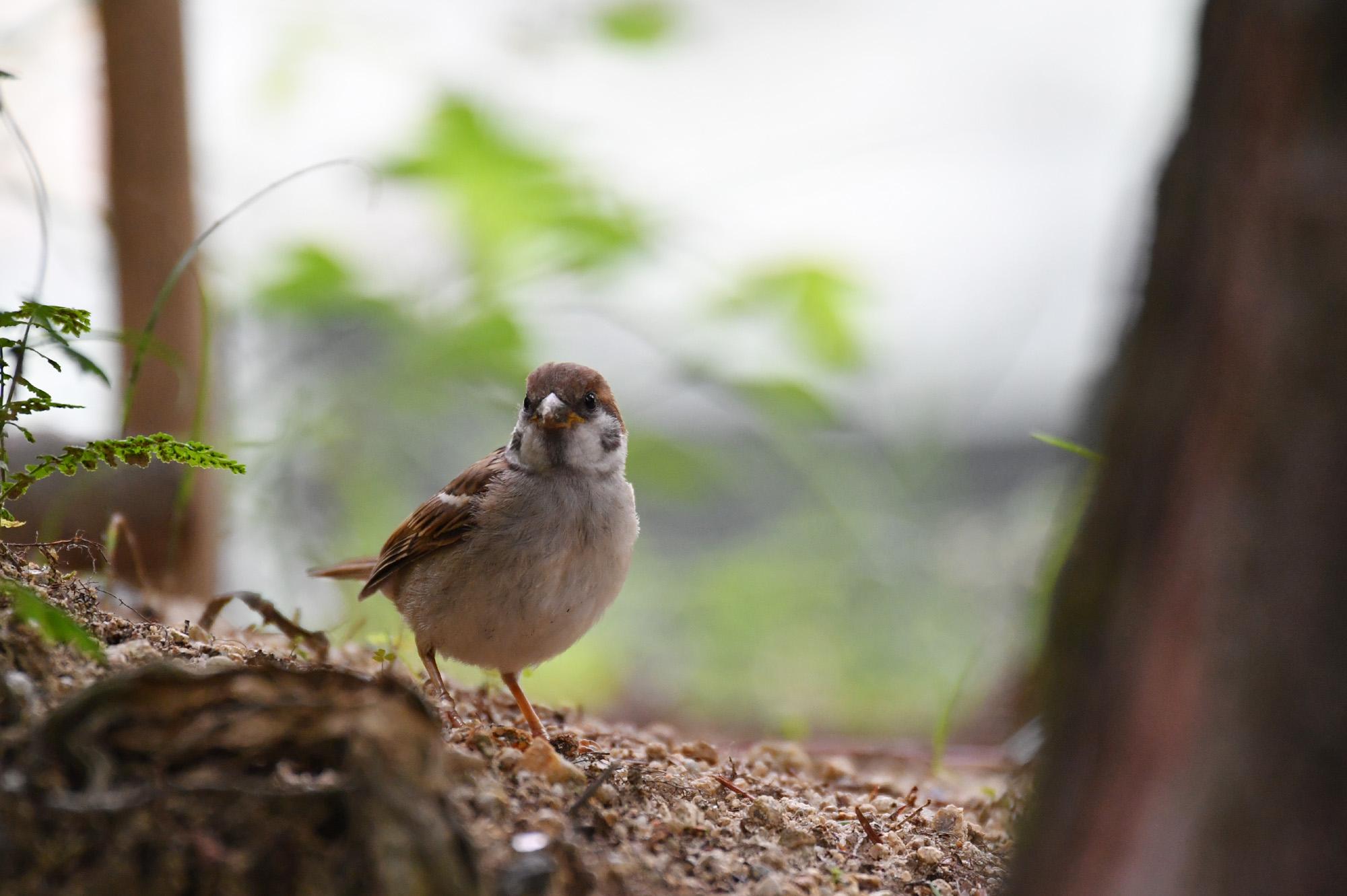 ゴーヨンで撮る雀の写真