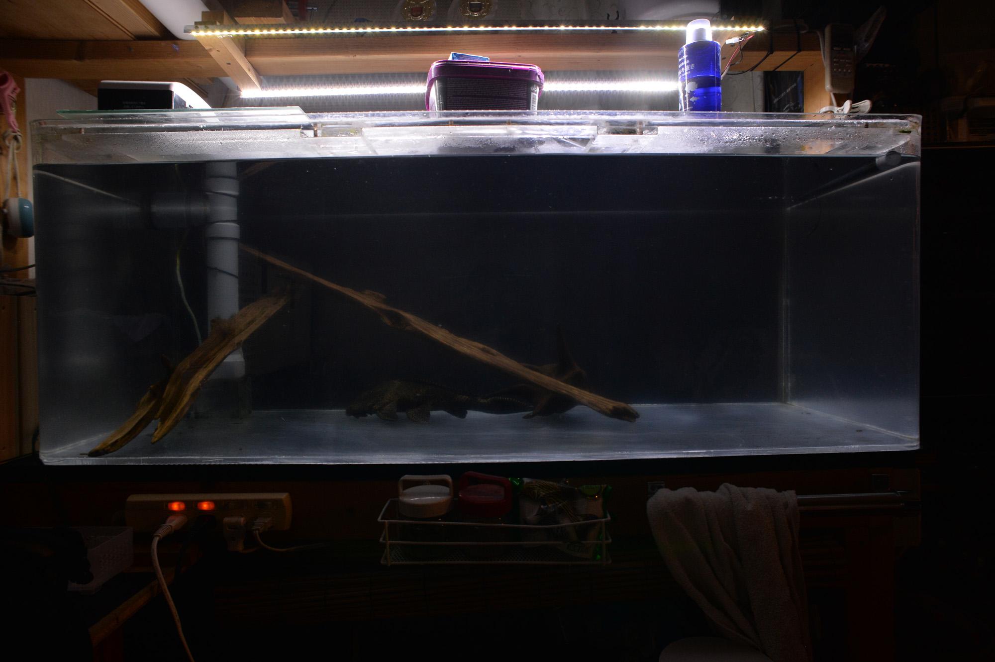大型水槽に1匹だけのセルフィンプレコ