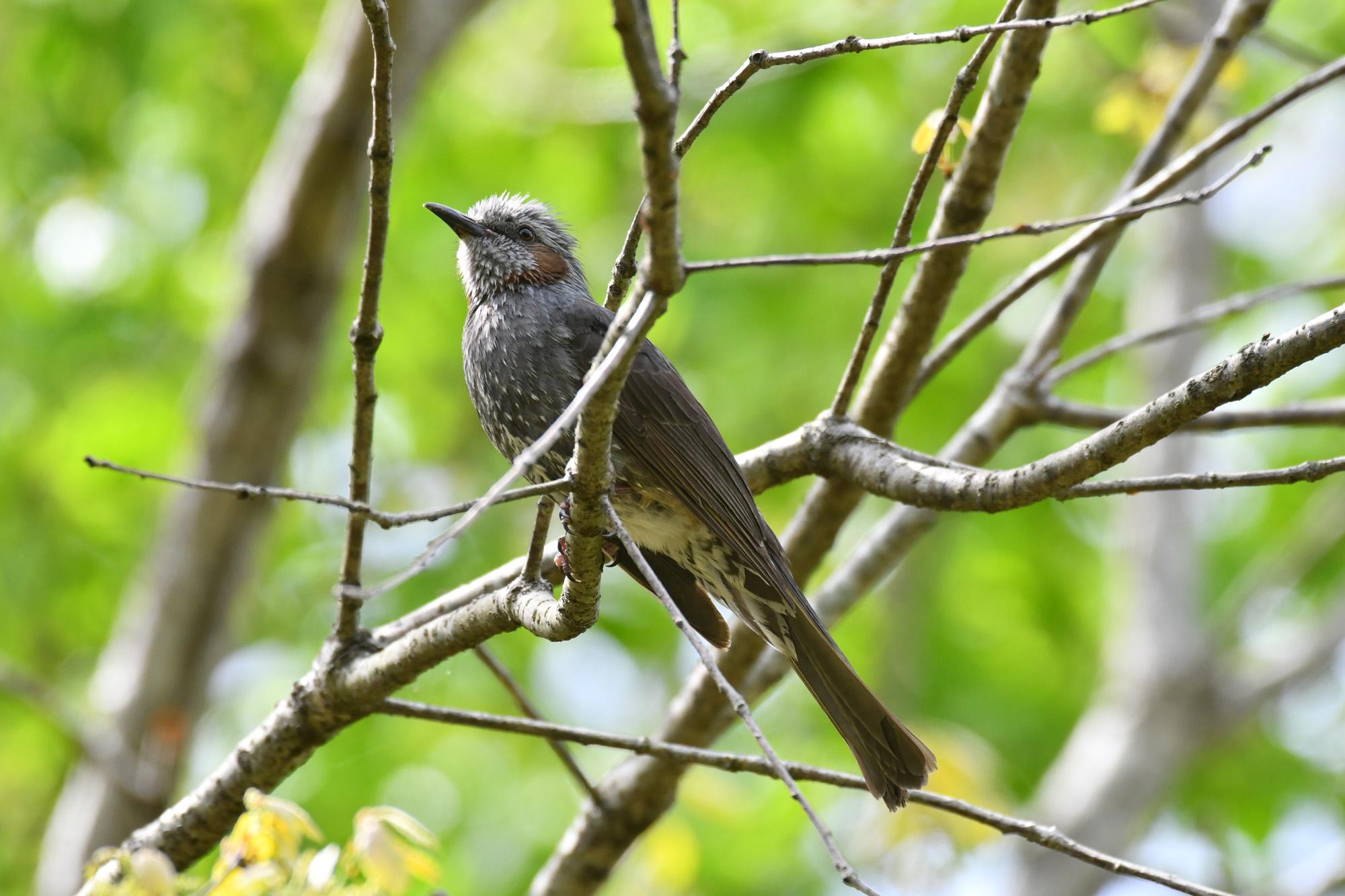 よく見かける中型の野鳥 ヒヨドリとシロハラ