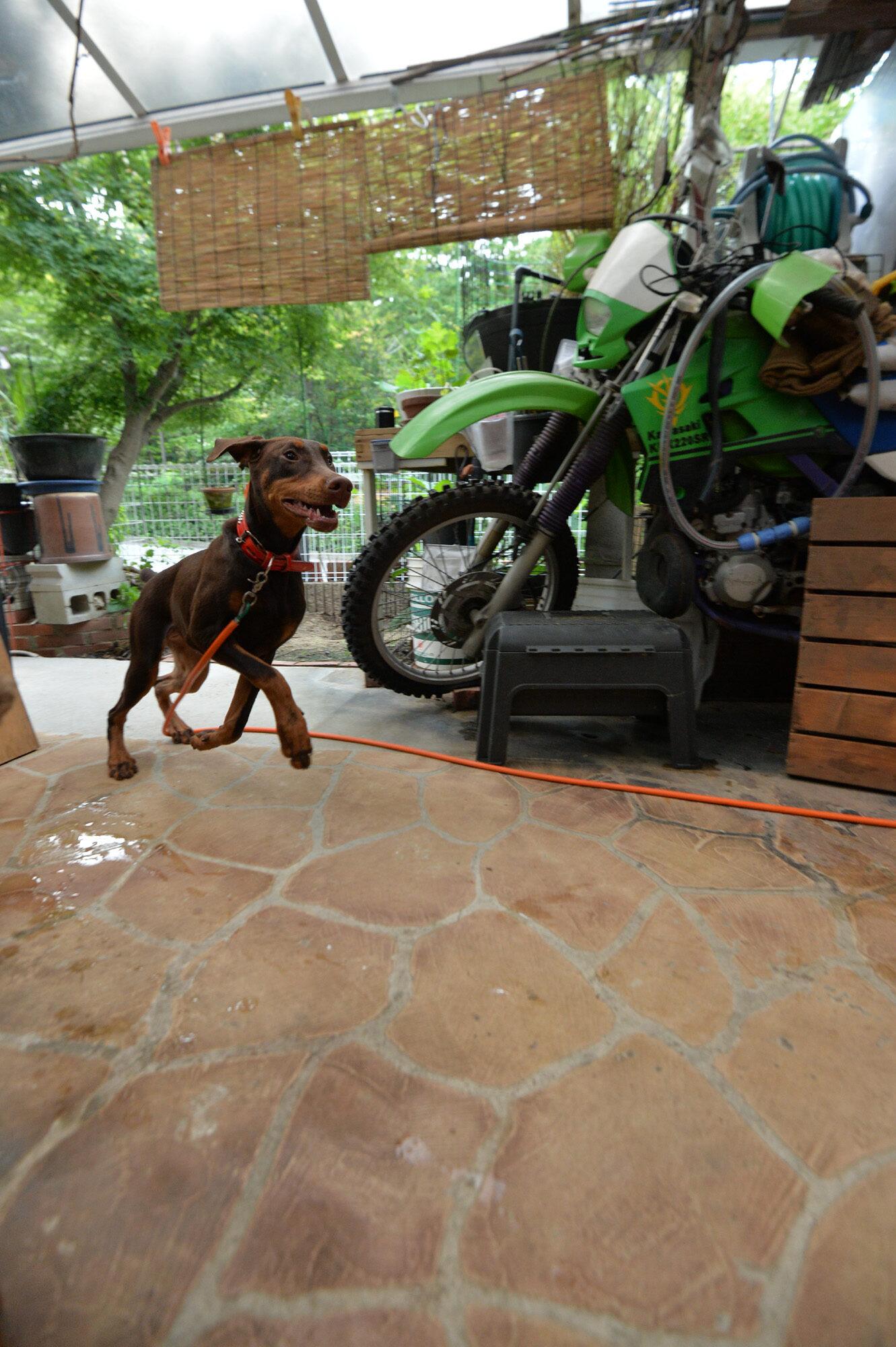 愛犬マロン、朝の運動 ドギーマン 犬用おもちゃ コツトンボーン
