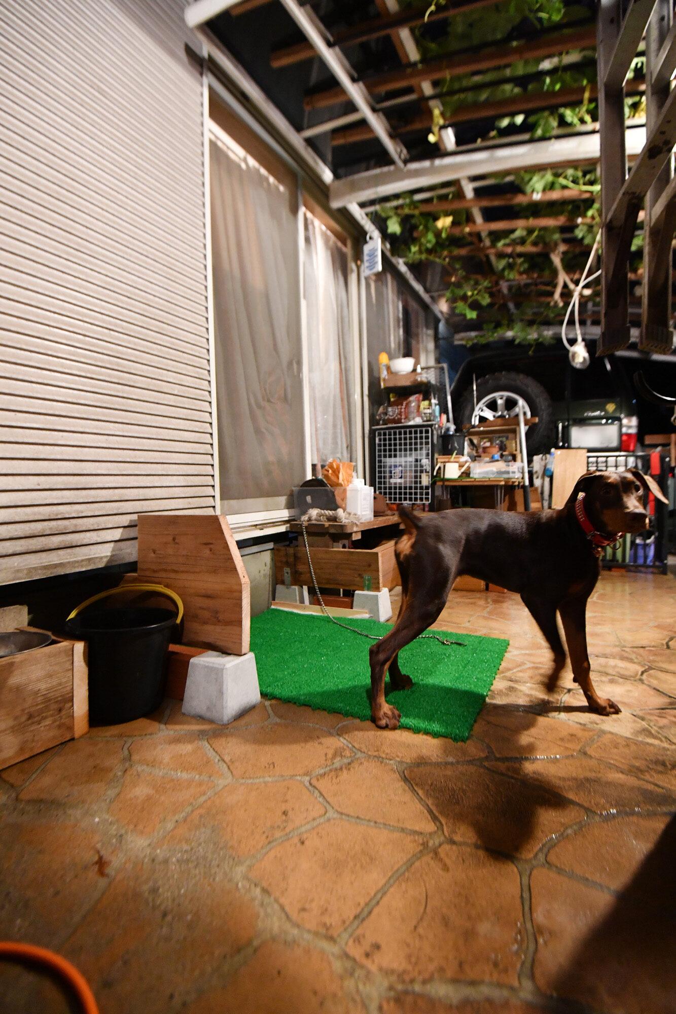庭に犬のトイレ 6ヶ月の大型犬、トイレトレーニング開始してみた。 その2