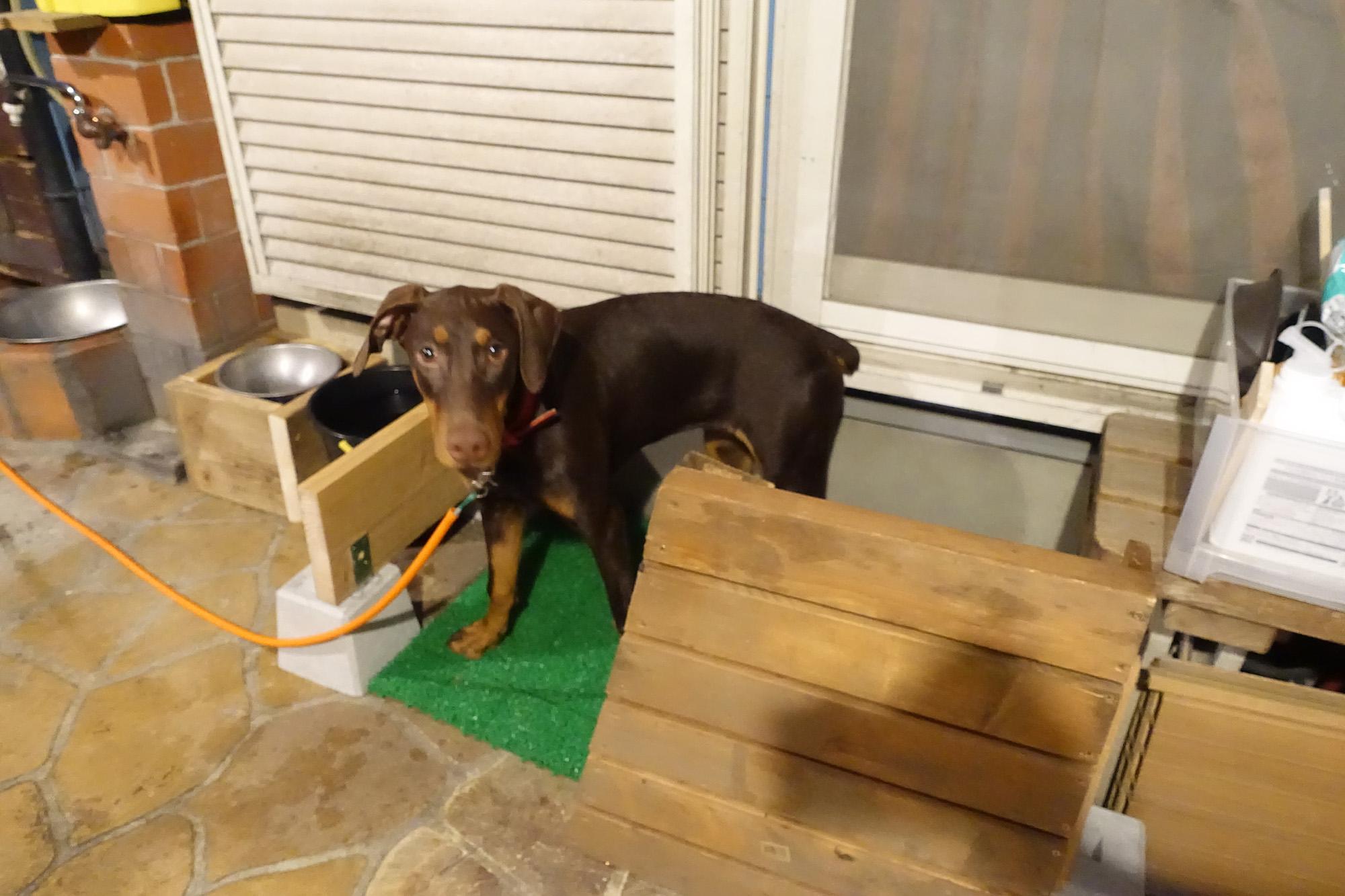 庭に犬のトイレ 6ヶ月の大型犬、トイレトレーニング開始してみた。 その1